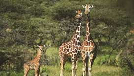 Reticulated sub-species of giraffe photographed at the Loisaba conservancy in Laikipia, Kenya.