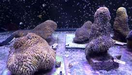 Pillar corals in a water tank at the labs of The Florida Aquarium Conservation Center in Apollo Beac