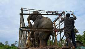 Forest rangers try to usher the wild elephants into a truck after they were captured