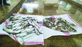 Rotten fish and crab seized from Al-Wakrah fish market
