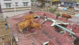 Cows stranded on a rooftop