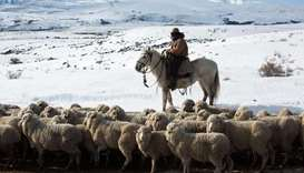 A farm worker on horseback herds sheep saved after heavy snowfall