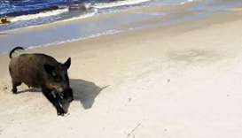Wild boar on a beach