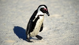 African penguin (Spheniscus demersus) at Table Mountain National Park