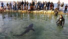 A rescued juvenile great white shark swims in Fairy Bower pool