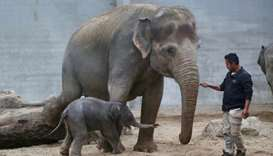 A newborn Asian elephant at the Pairi Daiza wildlife park