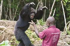 Helping Ponso the ape, sole survivor of 'Chimpanzee Island' in Ivory Coast