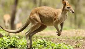 Kangaroo on the loose in Austria