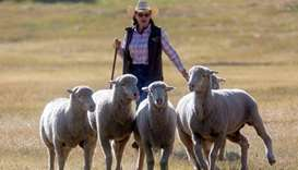 A woman helps to round up sheep