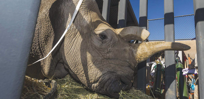 Nola, a critically endangered 41-year-old northern white rhino who died on Sunday at the San Diego Z