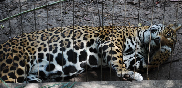 Gluttonous jaguar 'too fat to mate', says India zoo