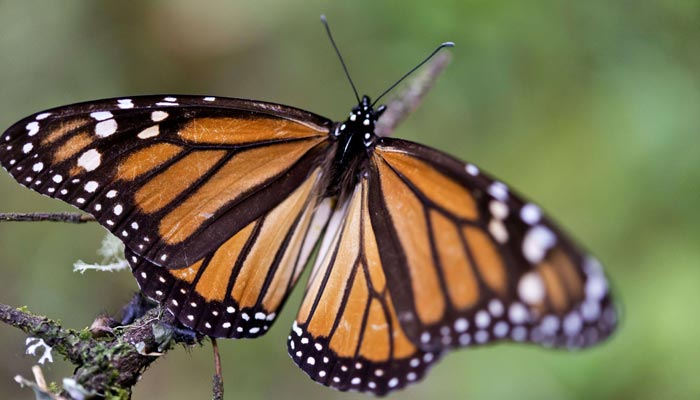 Monarch butterfly count expected to rebound in Mexico