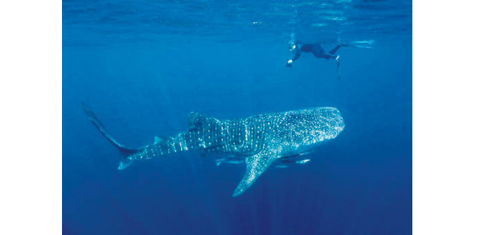 Research on Al Shaheen whale sharks to be presented at conference