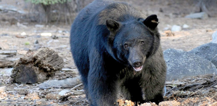 A black bear scavenging for food.
