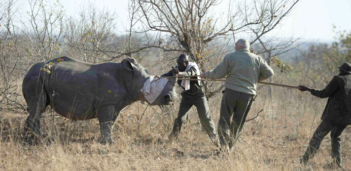 A white rhino being captured by conservation officials in South Africa's Kruger National Park.