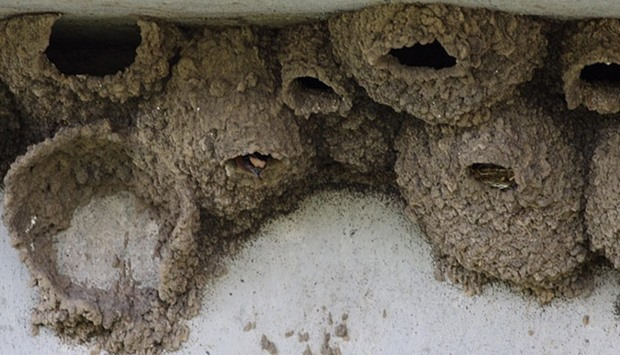 swallows' nests