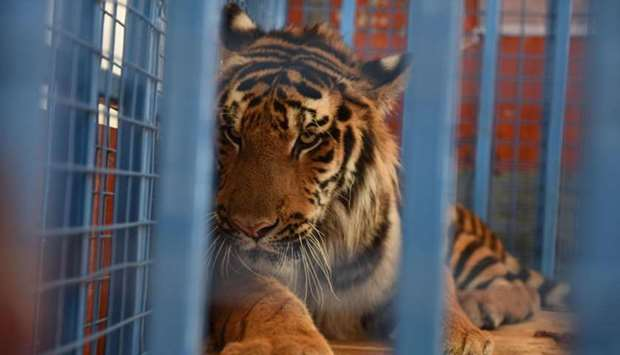 A tiger is being transported in Cobanbey, after it was rescued from the destroyed Magic World amusem