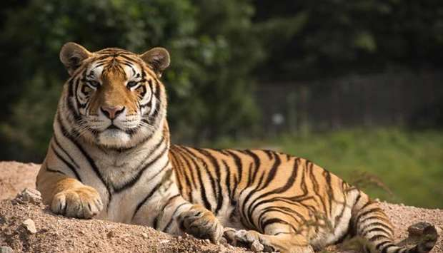 A Siberian tiger sits in the Hengdaohezi Siberian Tiger Park