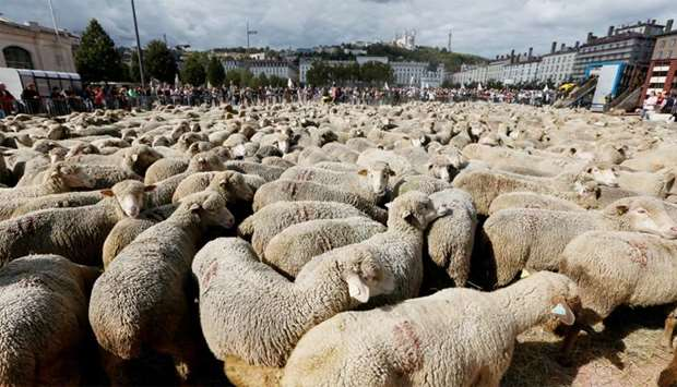 "Hundreds of sheep gather as French farmers (rear) stage a protest against the government's ""Plan lou"