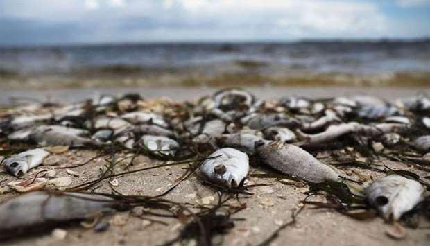 Fish which have been washed ashore, lie on the Sanibel causeway after dying in a red tide in Sanibel