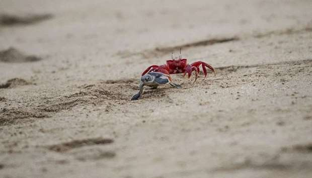 A crab chasing a newborn green turtle after being released at a beach