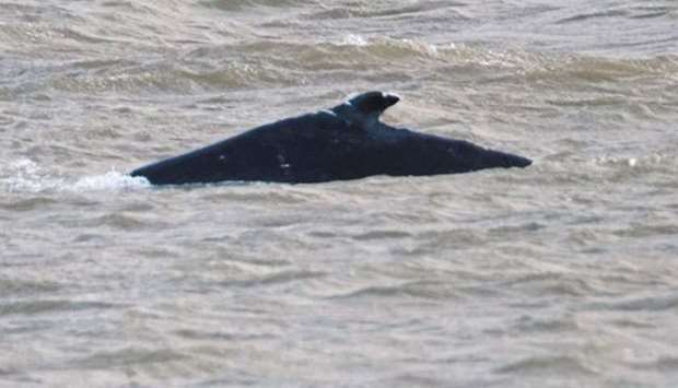 Humpback whale found dead in River Thames