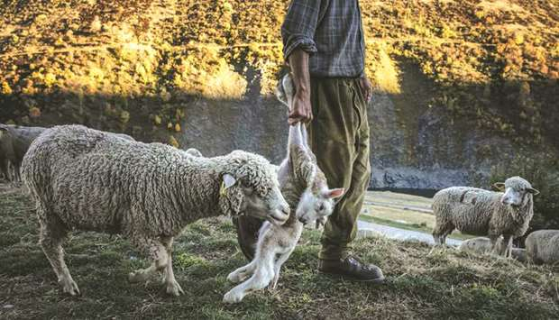 Wolves at the door, Alpine shepherd can't imagine any other life