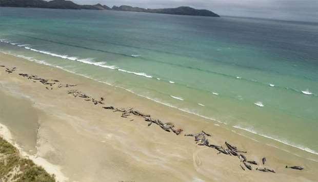 Around 145 pilot whales that died in a mass stranding on a beach on Stewart Island, located south of