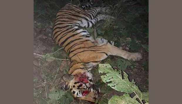 Dudhwa Tiger Reserve tigress killed by mob