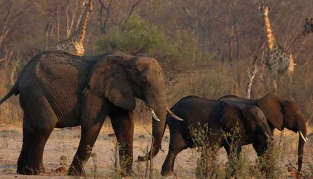 A group of elephants and giraffes walk at a watering hole inside Hwange National Park