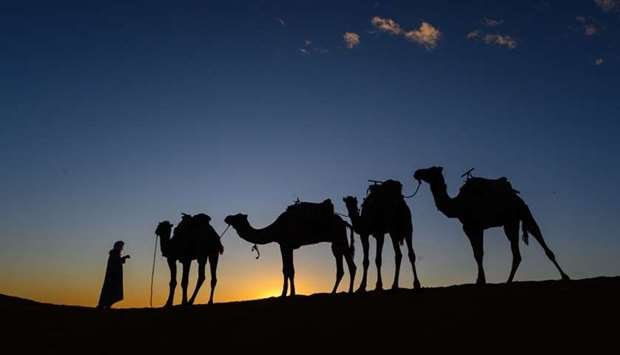 Camels are pictured at sunset prior the arrival of the competitors