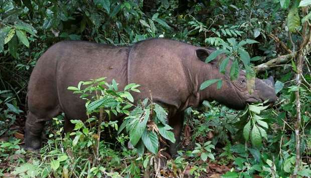 Ratu, an 8 year-old female Sumatran Rhinoceros (Dicerorhinus sumatrensis), is seen at the Sumatran R