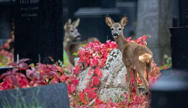 Deer are seen between tombstones at the old jewish part of the Zentralfriedhof cemetery, Vienna