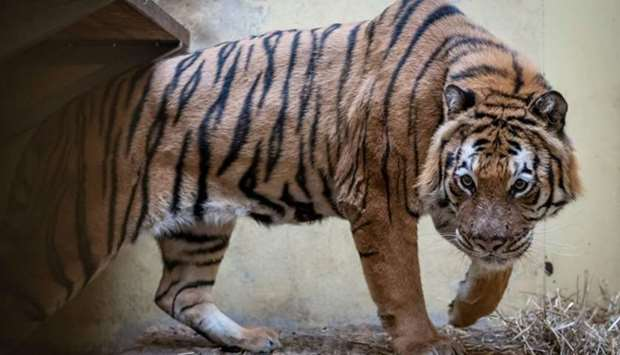 Male tiger Kan - one of the tigers that were seized on the Polish-Belarusian border - is seen in his