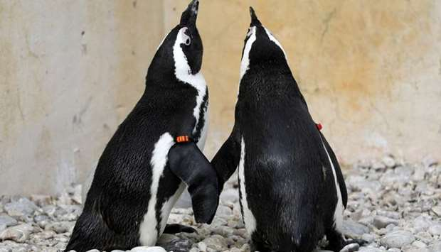 Pair of rescued penguins sit while being treated at eabird Sanctuary in Gansbaai