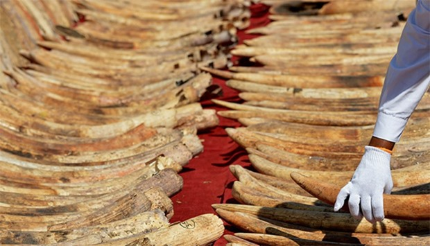 A cache of 'blood ivory'