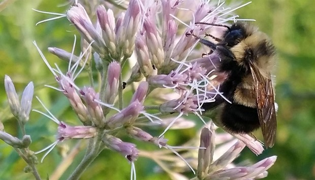 A rusty patched bumble bee