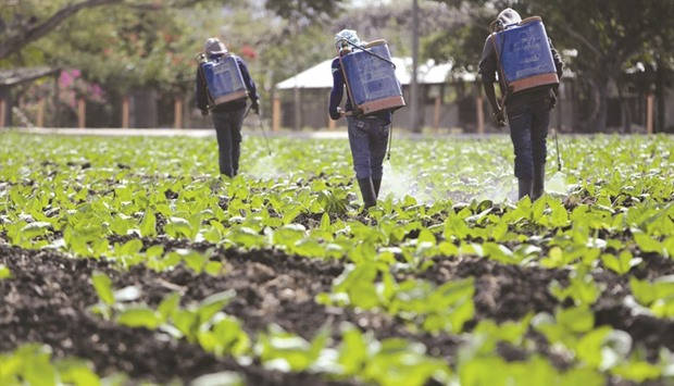 Workers spray tobacco plants on a farm near Esteli, a city some 150km from Managua.