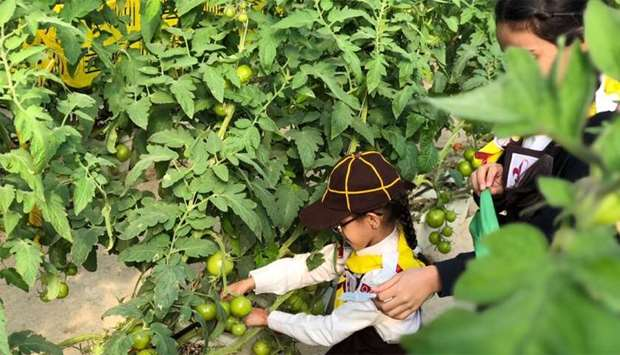 Students tending to tomato plants as part of Sahtak Awalan – Your Health First