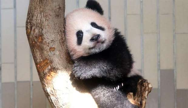 Baby panda Xiang Xiang playing at its enclosure at Ueno Zoo in Tokyo.