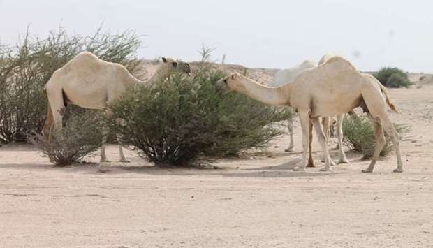 Camels grazing in the wild areas