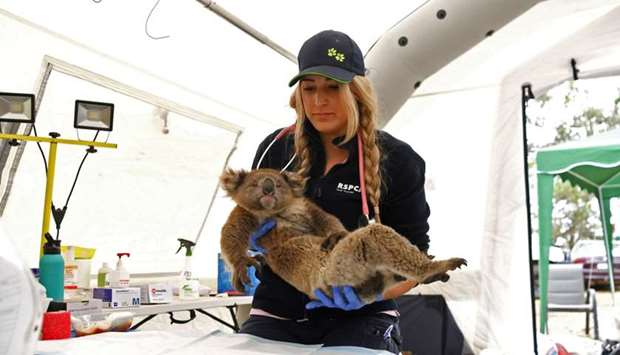 An injured koala is treated by RSPCA vet