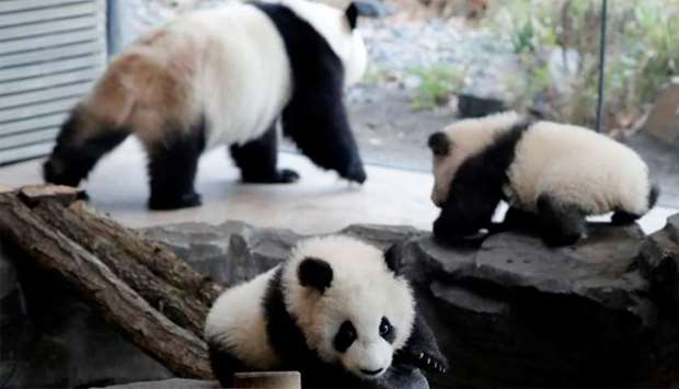 Panda twin cubs Paule (Meng Yuan) and Pit (Meng Xiang) and mother panda Meng Meng are seen during th