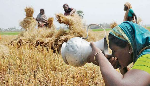 A woman drinks water while other farm workers harvest rice in a rural area of Rajshahi, Bangladesh.