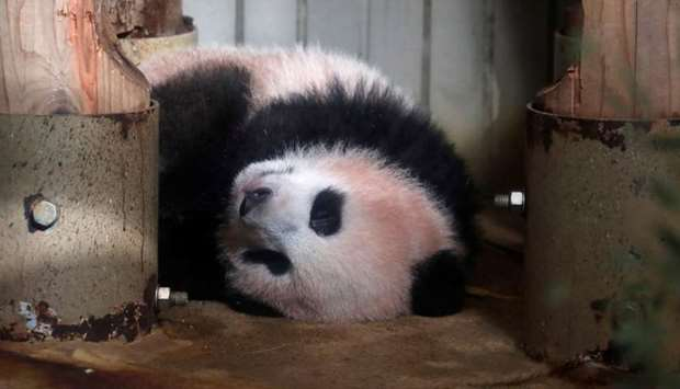 Baby panda Xiang Xiang is seen during press preview ahead of the public debut at Ueno Zoological Gar