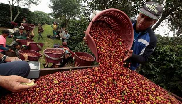 Coffee workers wait in line to weigh baskets of freshly harvested coffee cherries