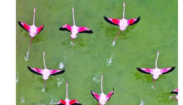 Flocks of pink flamingos at Al Thakira. - Pictures taken from Visit Qatar's Instagram page