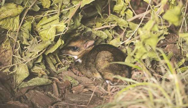 A Philippine mouse-deer, born at Wroclaw Zoo, is seen in this undated photo.