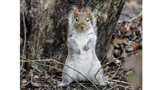 A squirrel stands on its hind legs as it looks for food in New York's Central Park. AFP File photo: