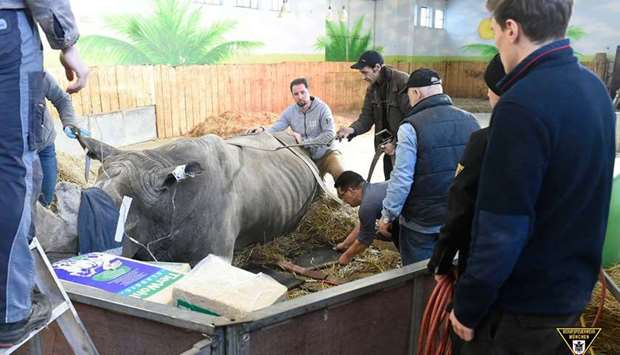 Rhino 'Tsavo' being examined with the help of firefighters